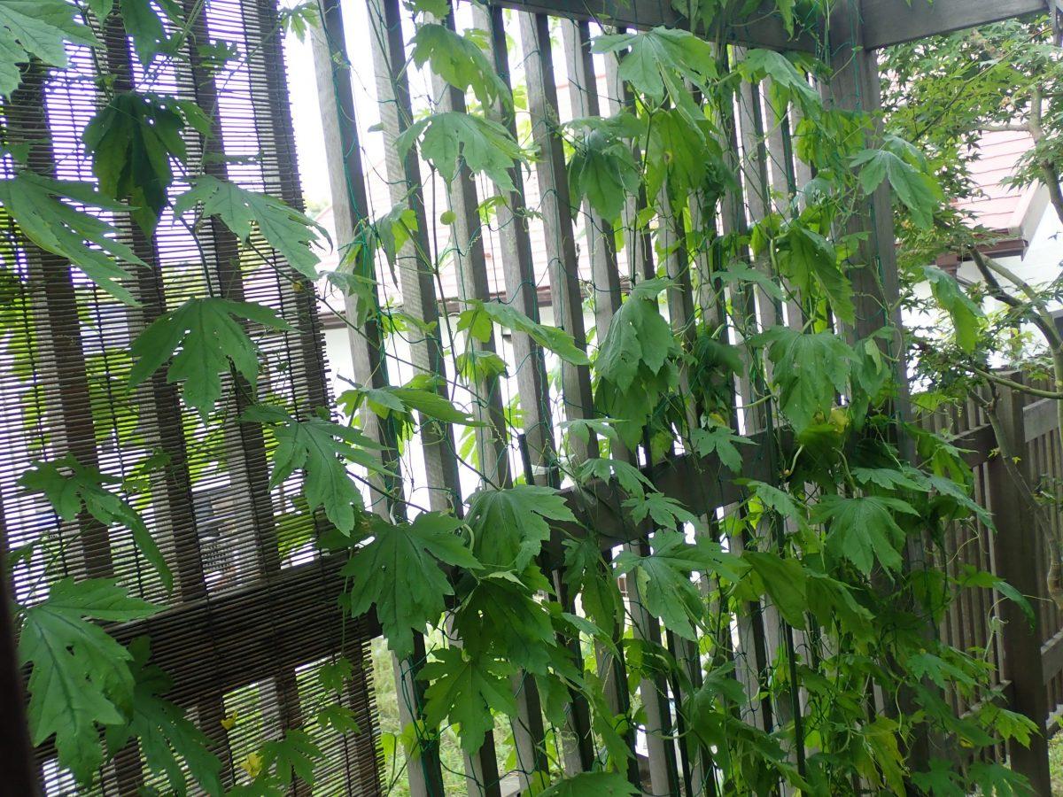 念願のグリーンカーテンに育ってくれています。